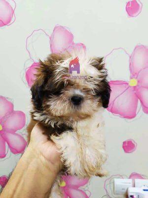 فروش سگ شیتزو خالص - Selling pure Shizu dogs - فروش حیوانات ، درمان بیماری ، آموزش و تربیت حیوانات خانگی آمازون