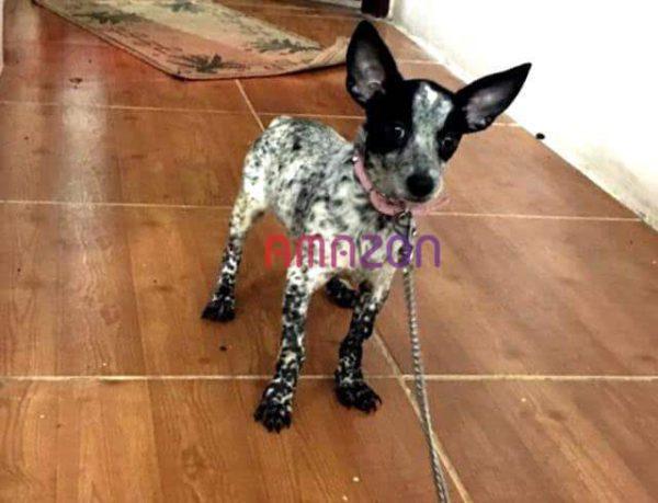 فروش سگ میکس چی واوا -فروش حیوانات ، درمان بیماری ، آموزش و تربیت حیوانات خانگی آمازون