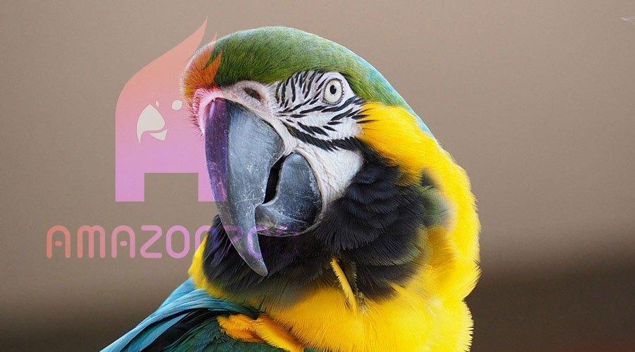 اصول اولیه نگهداری از طوطی سانان - پرندگان از جمله طوطی سانان نیاز به مراقبت ظریف و با دقت دارند زیرا آنها پرندگانی حساس و باهوش بوده