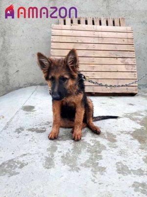 سگ ژرمن شفرد اصیل